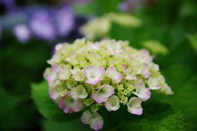 「庭先に咲く紫陽花」